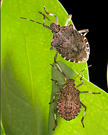 Two brown stink bugs on a green leaf