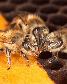 Three honey bees in a hive